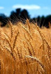 Семянная пшеница
