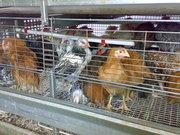 инкубационные яйца кур и перепелов