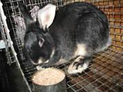 Кролики породистые из питомника