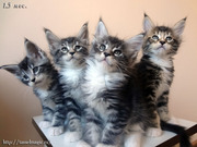 Котята породы мейн-кун. Ласковые гиганты.