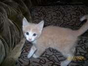Отдам котят от домашней кошки