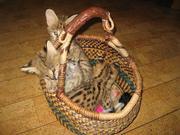 Великолепные экзотические котята на продажу.