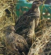 Продам перепелов,  яйца, инкубационные яйца ,  тушки и тд.
