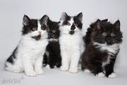 курильского бобтейла котята