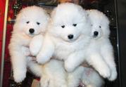 Щенки самоедской собаки.(самоедская лайка) д.р. 1.01.2013.