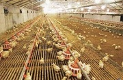 Оборудование для выращивания птиц (кур,  гусей,  уток)