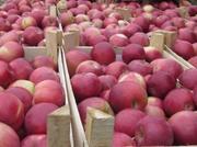 Яблоки 10 000 тонн,  слива,  виноград,  грецкий орех