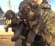 Крупные щенки восточно-европейской овчарки ВЕО,  документы РКФ