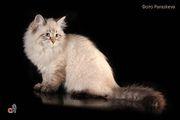 Замечательный подарок к Новому году – невский маскарадный котенок !