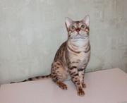 Бенгальский племенной кот в разведение