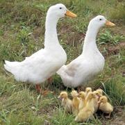 Принимаются заявки на суточных и подрощенных гусят,  утят,  индоутят,  цесарят.