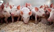 Реализуем свиней и поросят ОПТОМ!