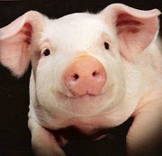 Поросята и свиньи оптом