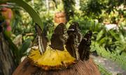 Высоко прпбыльный бизнес ферма Живых Экзотических Бабочек  из Филиппин