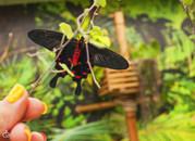 Высоко рентабельный  бизнес ферма Живых Восхитительных Бабочек  из Индонезии
