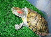 красноухая черепаха.Отдам в хорошие руки.